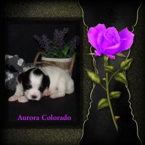 Aurora Colorado v.d. Herikervlier (T)